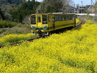 菜の花(中野)